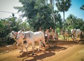 oxcart-ride-at-bakong-temple-170111-700pix