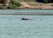 Irrawaddy Mekong Dolphin 700pixel
